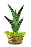 Aloe Vera in pot isolated on white