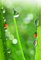 dew on a spring grass and little ladybug