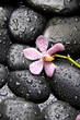 Pink orchid on the black zen stones in water drops