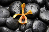 Tropical orchid on the black zen stones in water drops