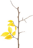 Yellow autumn branch isolated