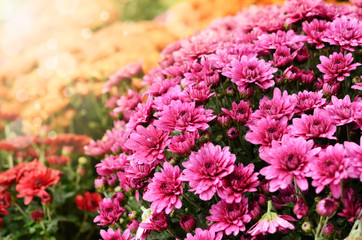 Orange and purple chrysanthemum flowers background