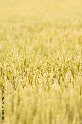 Wheat field filled with natural golden plants