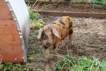 A Young Oxford Sandy and Black Rare Breed Pig