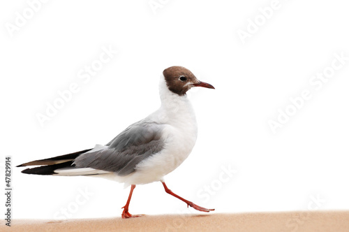 seagull isolated on a white background