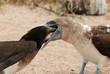 Blaufußtölpel füttert Nachwuchs