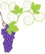 Grape vector background ecology