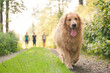 golden Retriever with group of people friends in behind walking