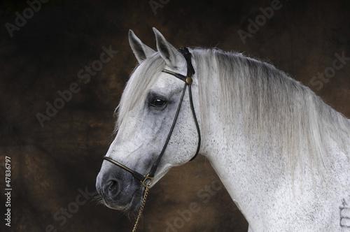 Fototapeten,andaluz,pferd,schimmel,studio