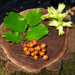 collection of wet fresh hazelnuts on old wooden stump
