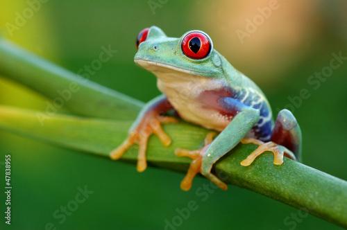 Papiers peints Grenouille Red-eyed treefrog (Agalychnis callidryas)