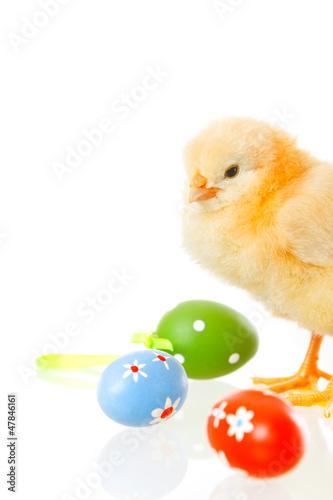 反思可爱的品尝婴儿孤立小的小鸡工作室年轻的复活节