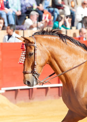 portrait of picador's  horse in corrida, Sevilla. Spain