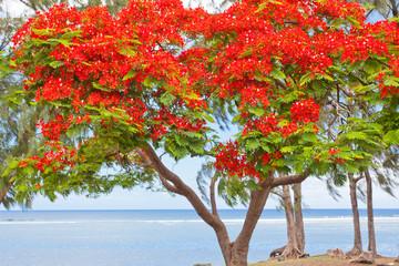 flamboyant sur plage et lagon de St-Leu, Réunion