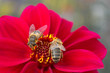 Bees on Red Flower