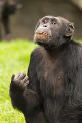 retrato de un chimpancé