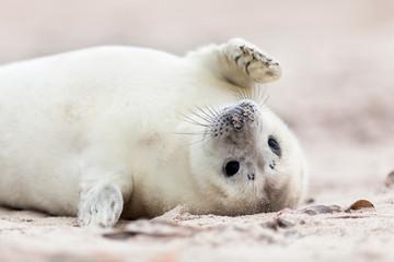 Robbenbaby winkt am Strand