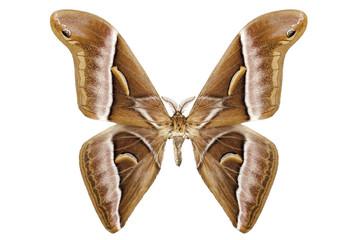 Butterfly moth species Samia kohlii