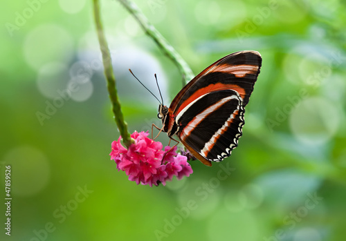 Banded Orange butterfly on pink flowers