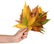 Composition from yellow autumn leaves in hand isolated on white