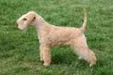 Lakeland terrier on green grass in the garden