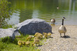 Geese and baby gooslings swimming in pond