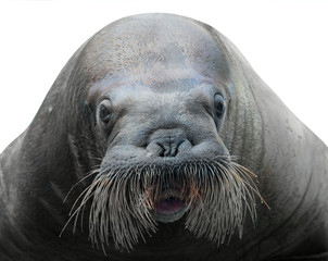 walrus close-up isolated on white
