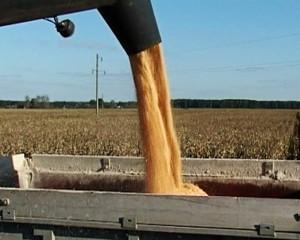Урожай кукурузы выгружается из комбайна в машину