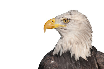 isolated head profile of an american bald eagle