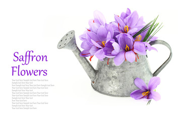 Saffron flowers in a watering can