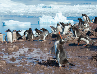 Gentoo penguins near the water