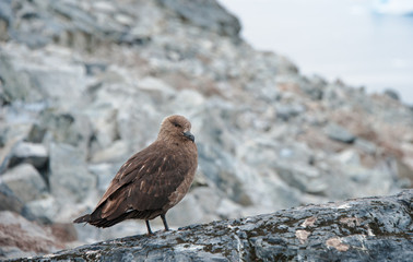Bird in wild nature, Antarctica