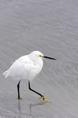 Snowy Egret Walking on Sand