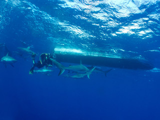 Caribbean reef shark (Carcharhinus perezi) and diver