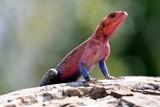 Fototapeta jaszczurka - afryka - Gady/Płaz