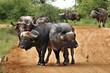 buffaloes on the way