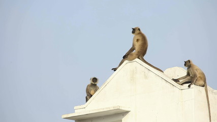 Langurs observing from the rooftop.