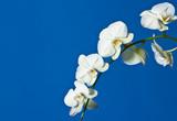 Fototapety Orchid flower