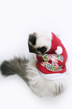Christmas Ragdoll Cat