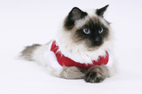 Winter ragdoll cat