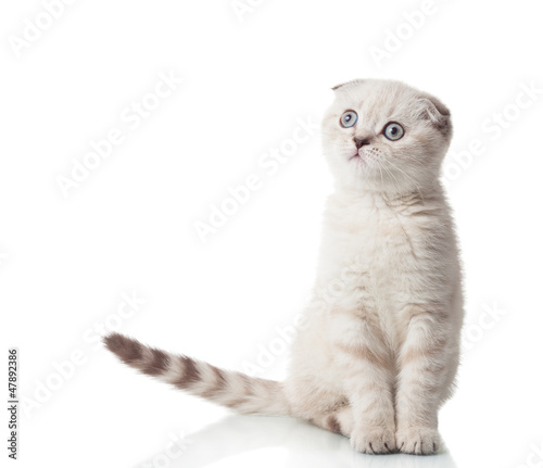 Scottish Fold breed