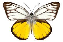 Butterfly species Cepora aspasia
