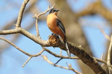 ヒマラヤの野鳥 セアカウタイチメドリ