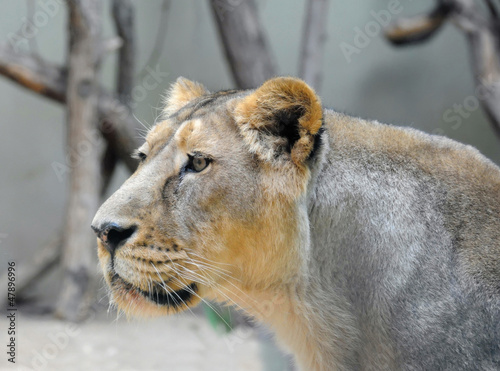 Lioness portrait from the side
