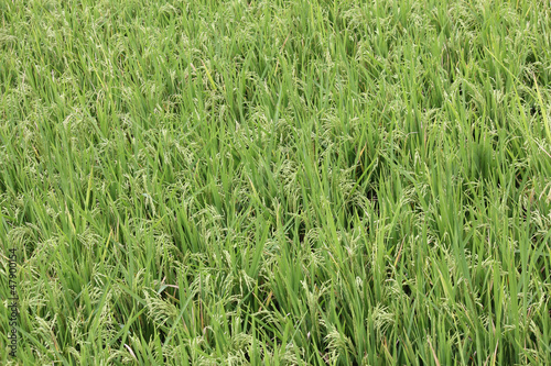 Oryza sativa or Paddy in the Field near pune