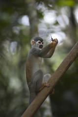 Mono ardilla. Brasil