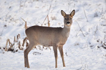 Young roe in winter scenery.
