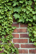 Ivy on a red brick wall