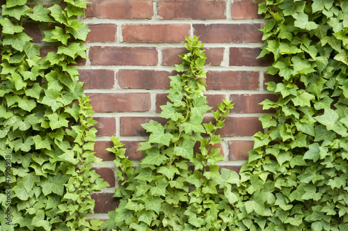 Ivy growing up a brick wall