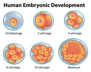 Stages in human embryonic development